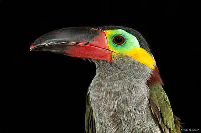Guyana Toucanette Art Print by Avian Resources