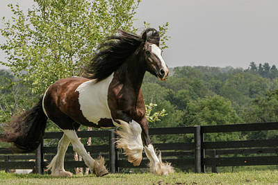 Gypsy Photograph - Gypsy Vanner Horse Running, Crestwood by Adam Jones