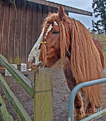 Photograph - Gypsy Vanner Horse  by Valerie Garner