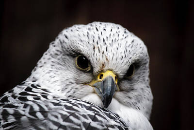Photograph - Gyrfalcon Closeup by Wes and Dotty Weber