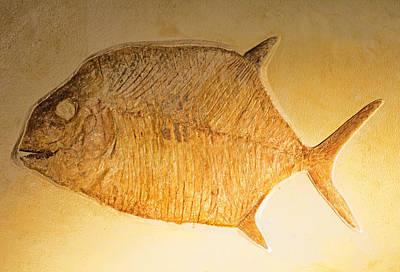 Photograph - Gyrodus Fish Fossil by Millard H. Sharp