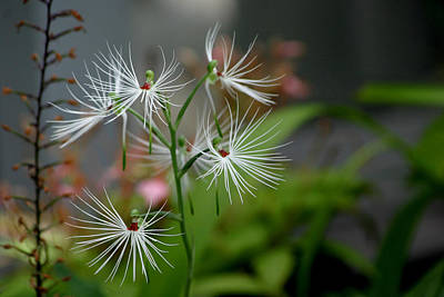 Photograph - Habenaria by Living Color Photography Lorraine Lynch