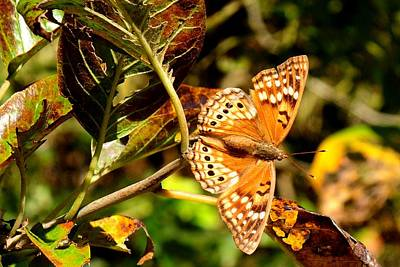 Photograph - Hackberry Emperor Butterfly by Marilyn Burton