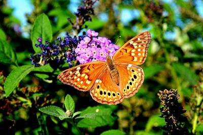 Photograph - Hackberry Emperor Butterfly On Flowers by Marilyn Burton