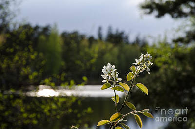 Photograph - Hackberry Flower by Kennerth and Birgitta Kullman