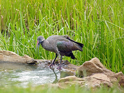 Photograph - Hadada Ibis by Tony Murtagh