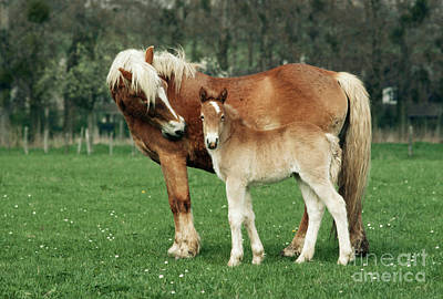 Photograph - Haflinger Mother And Foal by Jean-Paul Ferrero