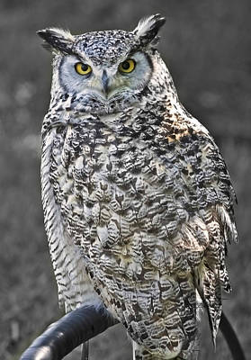 Great Horned Owl Photograph - Hagrid  by Barbara  White