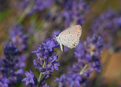 Photograph - Hair Streak On Lavender by Lara Ellis