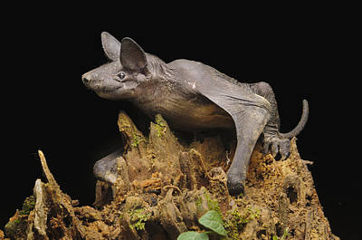 Bat Photograph - Hairless Bat Tibu Batang Ai Np Malaysia by Ch'ien Lee