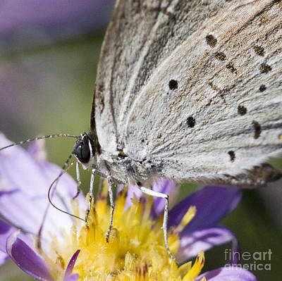 Photograph - Hairstreak Butterfly by Chris Scroggins