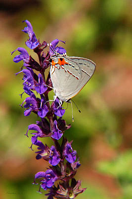 Photograph - Hairstreak Butterfly by Christina Rollo