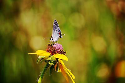 Hairstreak Butterfly On A Brown-eyed Susan Art Print