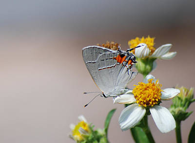 Photograph - Hairstreak by Larah McElroy