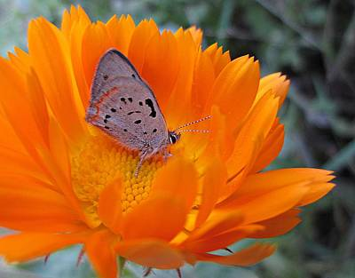 Photograph - Hairstreak On Calendula by MTBobbins Photography