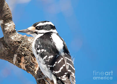 Winter Scene. Winter Landscape. Snow Landscape. Black And White. Birds Photograph - Hairy In Blue by Cheryl Baxter
