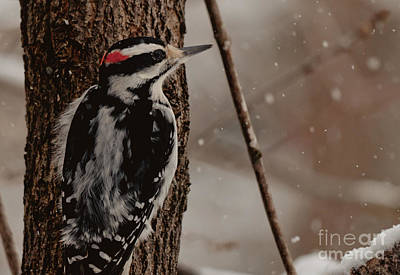 Winter Scene. Winter Landscape. Snow Landscape. Black And White. Birds Photograph - Hairy In The Snow by Cheryl Baxter