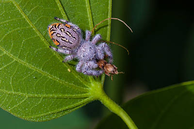 Hairy White Spider Eating A Bug Art Print by Craig Lapsley