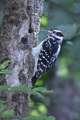 Hairy Woodpecker Original by Alan Lenk
