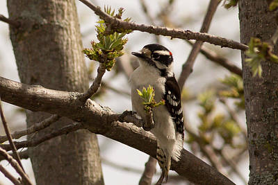 Hairy Woodpecker Photograph - Hairy Woodpecker Among The Spring Buds by Natural Focal Point Photography