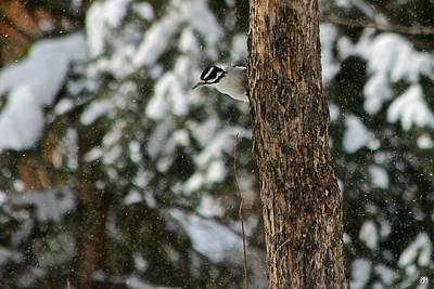 Hairy Woodpecker Photograph - Hairy Woodpecker by John Meader