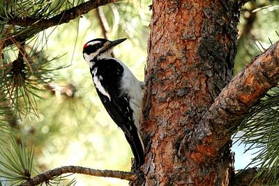 Photograph - Hairy Woodpecker by Marilyn Burton