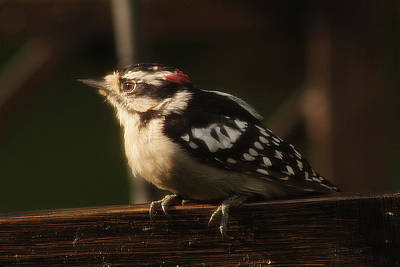 Photograph - Hairy Woodpecker by Scott Hovind