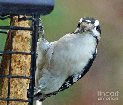 Hairy Woodpecker Photograph - Hairy Woodpecker Waiting For His Picture by Tabatha Knox