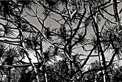 Hala Trees Art Print by Kim Pippinger