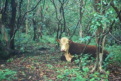 Photograph - Haleakala National Park Hawaii Cow On Waterfall Trail by John Burk