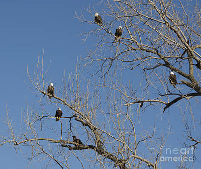 Photograph - Half A Dozen Eagles by Luther Fine Art