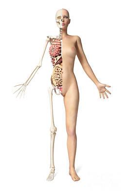 Human Skeleton Digital Art - Half Cutaway View Showing Skeleton by Leonello Calvetti
