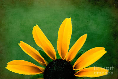 Black Eyed Susan Photograph - Half Sun - S02ct01 by Variance Collections