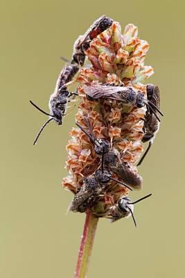 Hymenopteran Insect Photograph - Halictid Bees by Heath Mcdonald