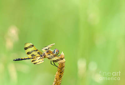 Tiger Dragonflies Photograph - Halloween In The Summer by Cheryl Baxter