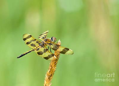 Tiger Dragonflies Photograph - Halloween Pennant by Cheryl Baxter