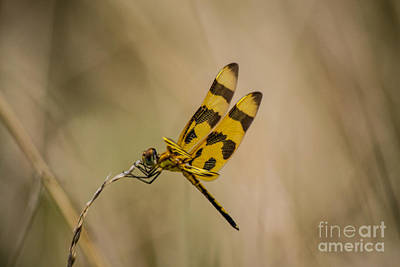 Photograph - Halloween Pennant Dragonfly by Angela DeFrias