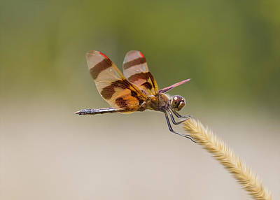 Celithemis Eponina Photograph - Halloween Pennant Dragonfly by Bill Tiepelman