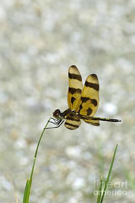 Celithemis Eponina Photograph - Halloween Pennant Dragonfly by Mark Newman