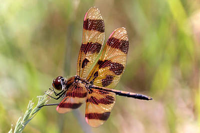 Photograph - Halloween Pennant Dragonfly by Theo OConnor