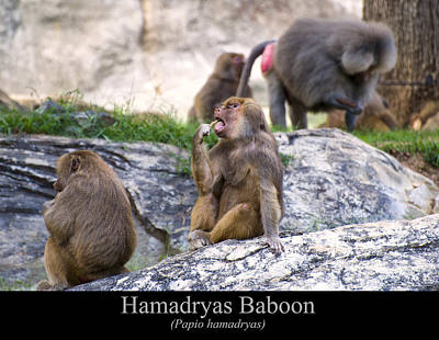 Digital Art - Hamadryas Baboon by Chris Flees