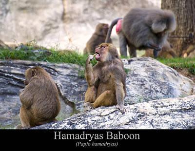 Digital Art - Hamadryas Baboon by Chris Flees