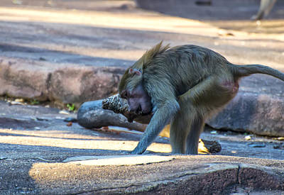 Framed Art Digital Art - Hamadryas Baboon Exercising by Chris Flees