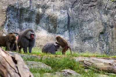 Digital Art - Hamadryas Baboon Grooming by Chris Flees
