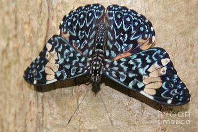 Photograph - Hamadryas Butterfly by David Grant