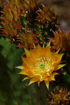 Cactus Southwest Cactus Flower Orange Wildflowers Nature Arizona Photograph - Hamanns Prickly Pear Cactus II by Cindy McDaniel