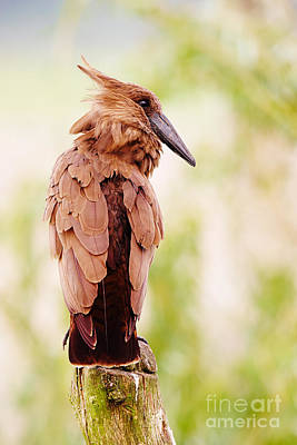 Photograph - Hamerkop In A Tree by Nick  Biemans