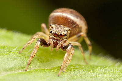 Spider Photograph - Hammerjawed Jumper I by Clarence Holmes