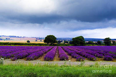 Photograph - Hampshire Lavender Field by Terri Waters