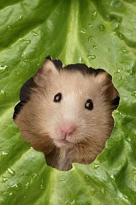 Hamster Photograph - Hamster And Leaf by Greg Cuddiford